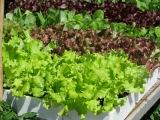 Le Chef est Complètement Salade; L'es-tu?